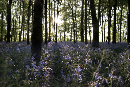 Sun light penetrating a Bluebell wood